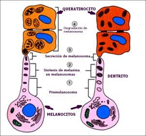 Melanosintesis